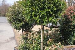 Prunus laur. caroliniana
