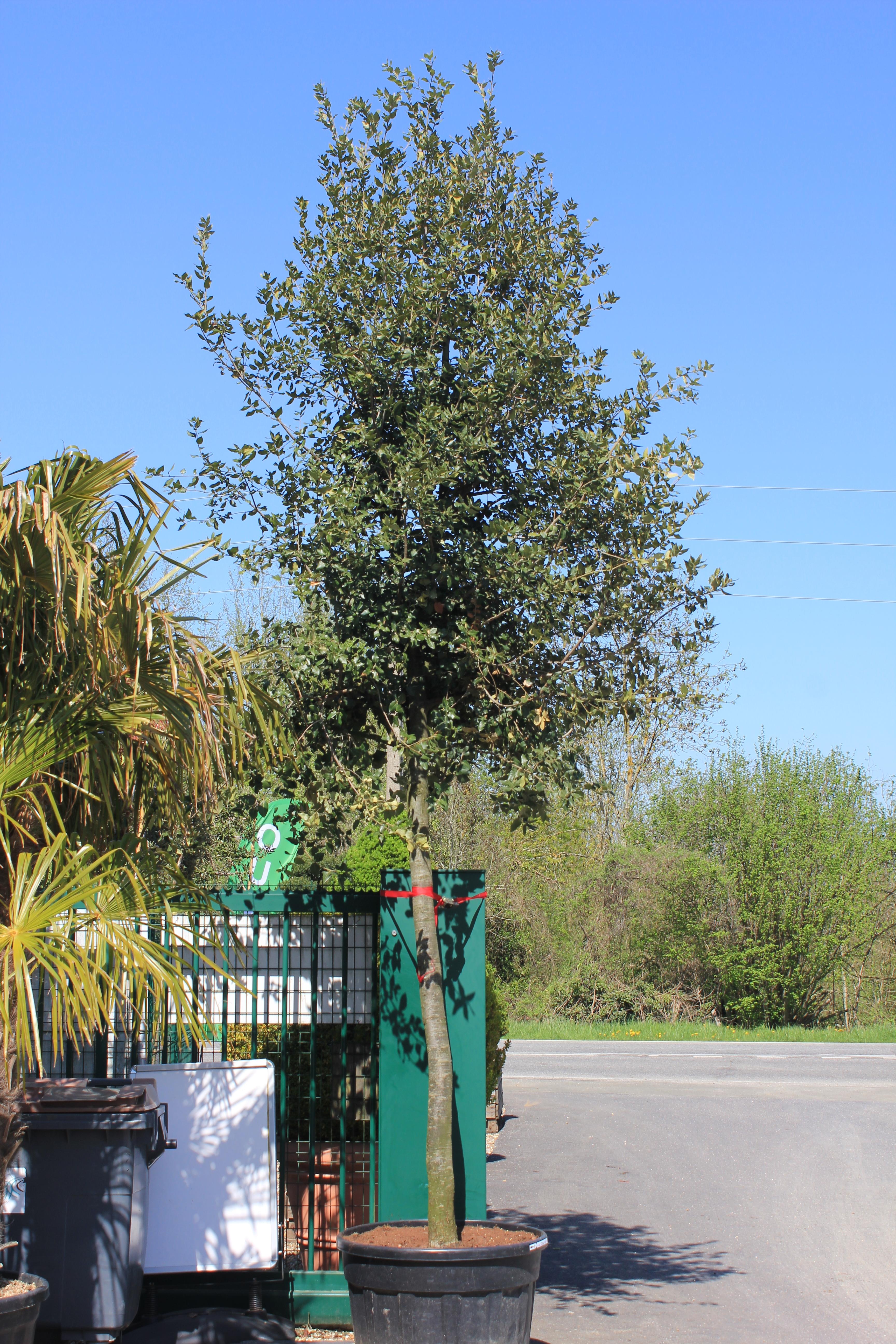 Chene vert (2)