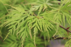 Acer palm. Emerald Lace