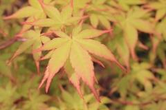 Acer palm. Sangokaku 3