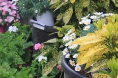 Aucuba - Anthemis - Geranium